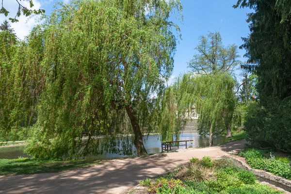Weeping willow tree with drooping branches next to pathway along water