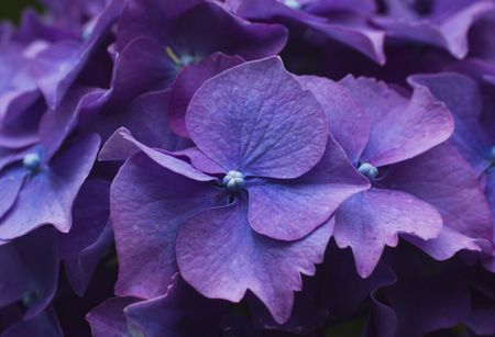 Best shrubs with purple flowers closeup of sepals of purple hydrangea shrub flower mightylinksfo