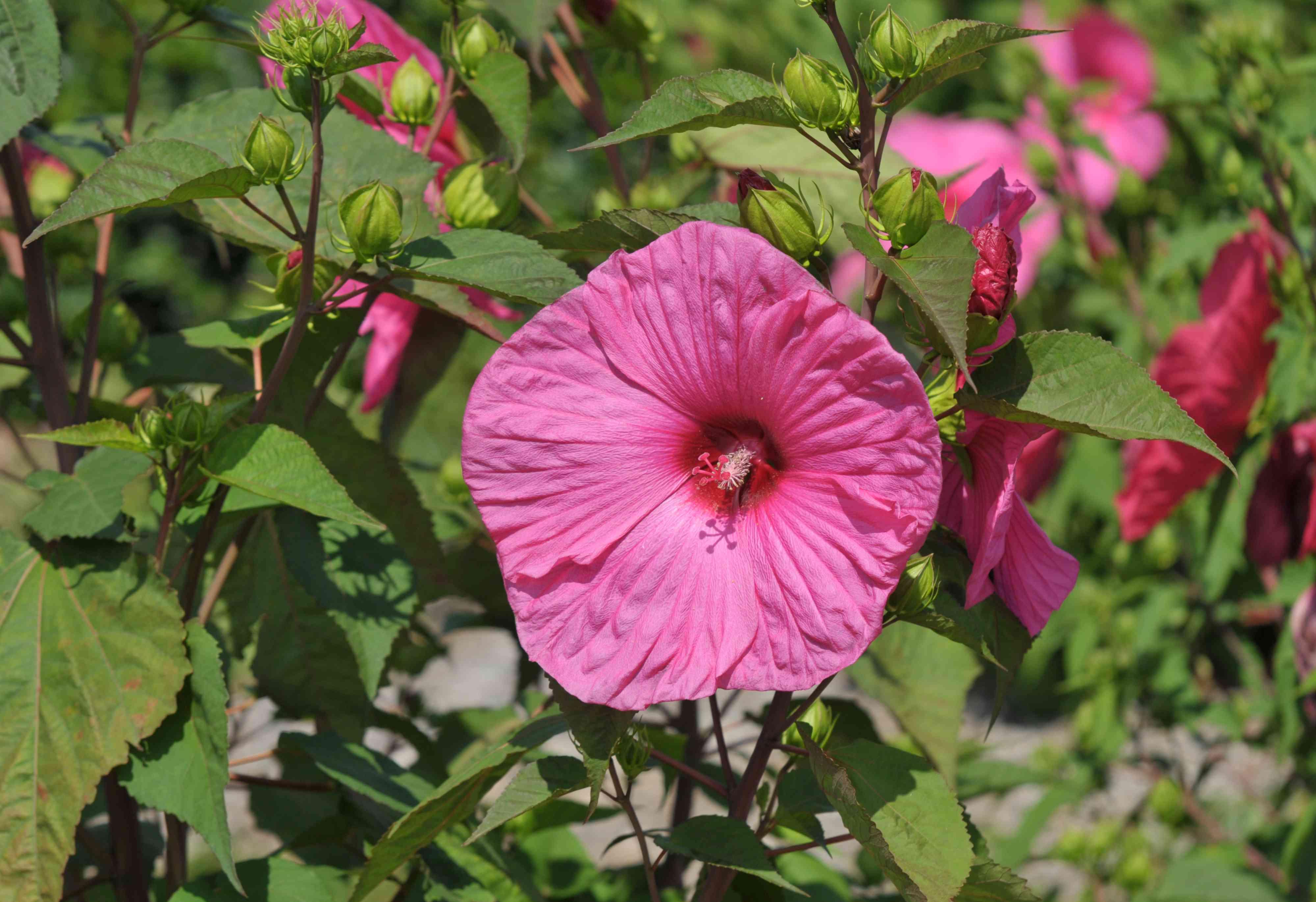 Hardy hibiscus