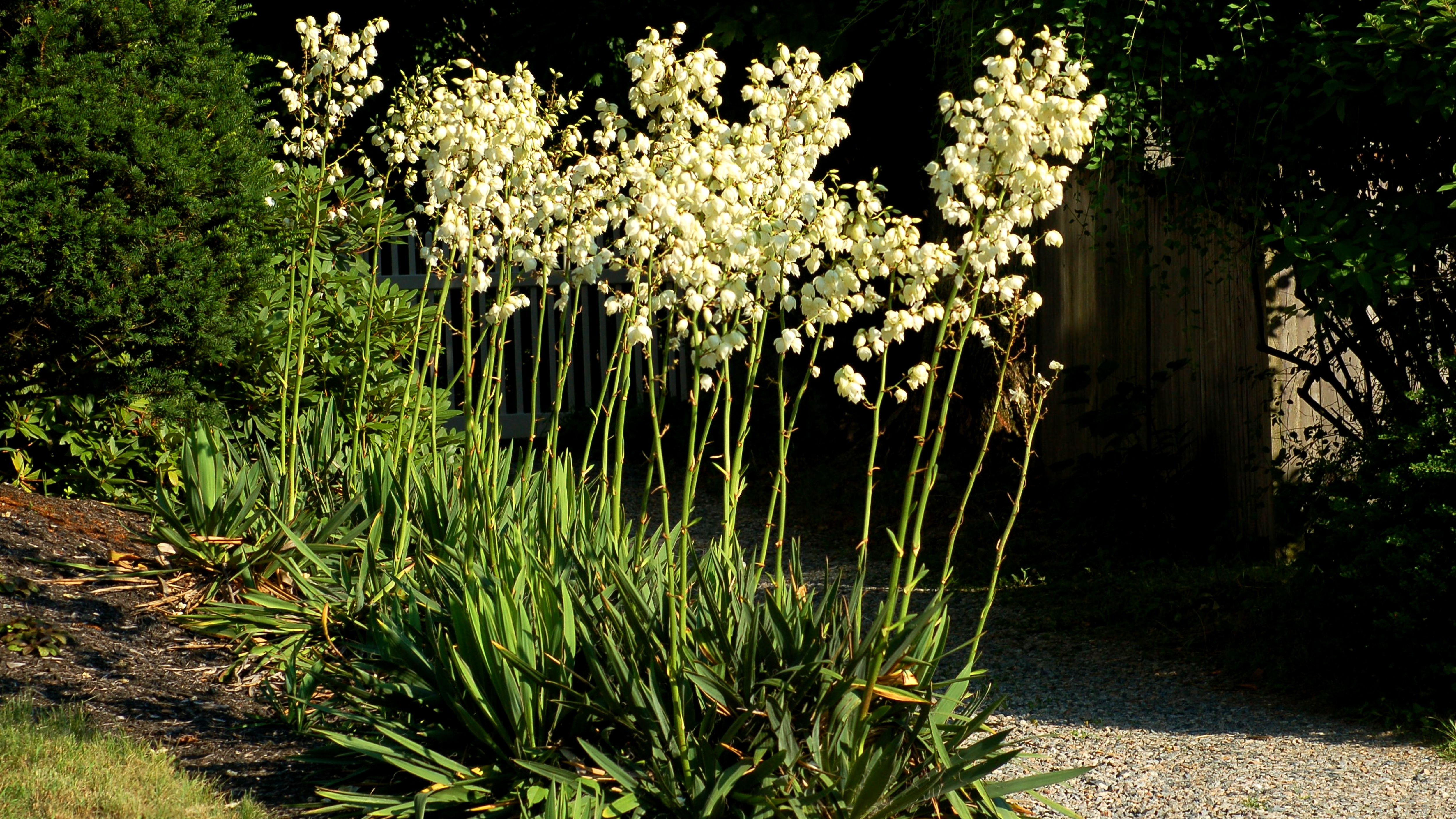 Outdoor Yucca Plant Care.Caring For Adam S Needle Or Yucca Filamentosa