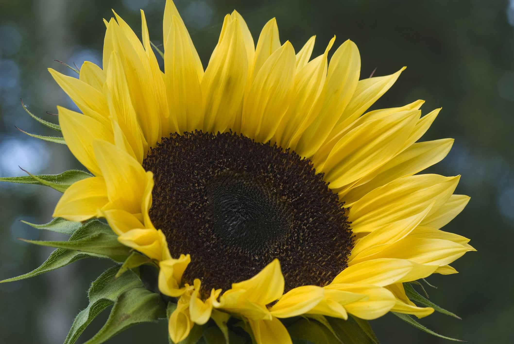 Pro Cut Peach Sunflower