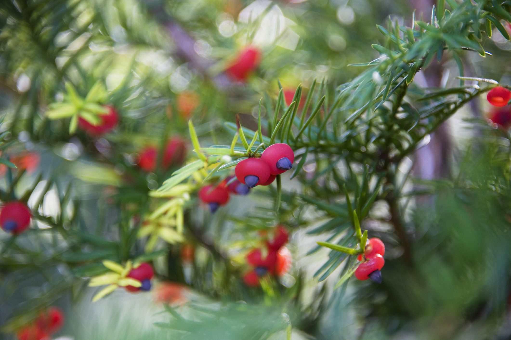 Berries of a yew bush
