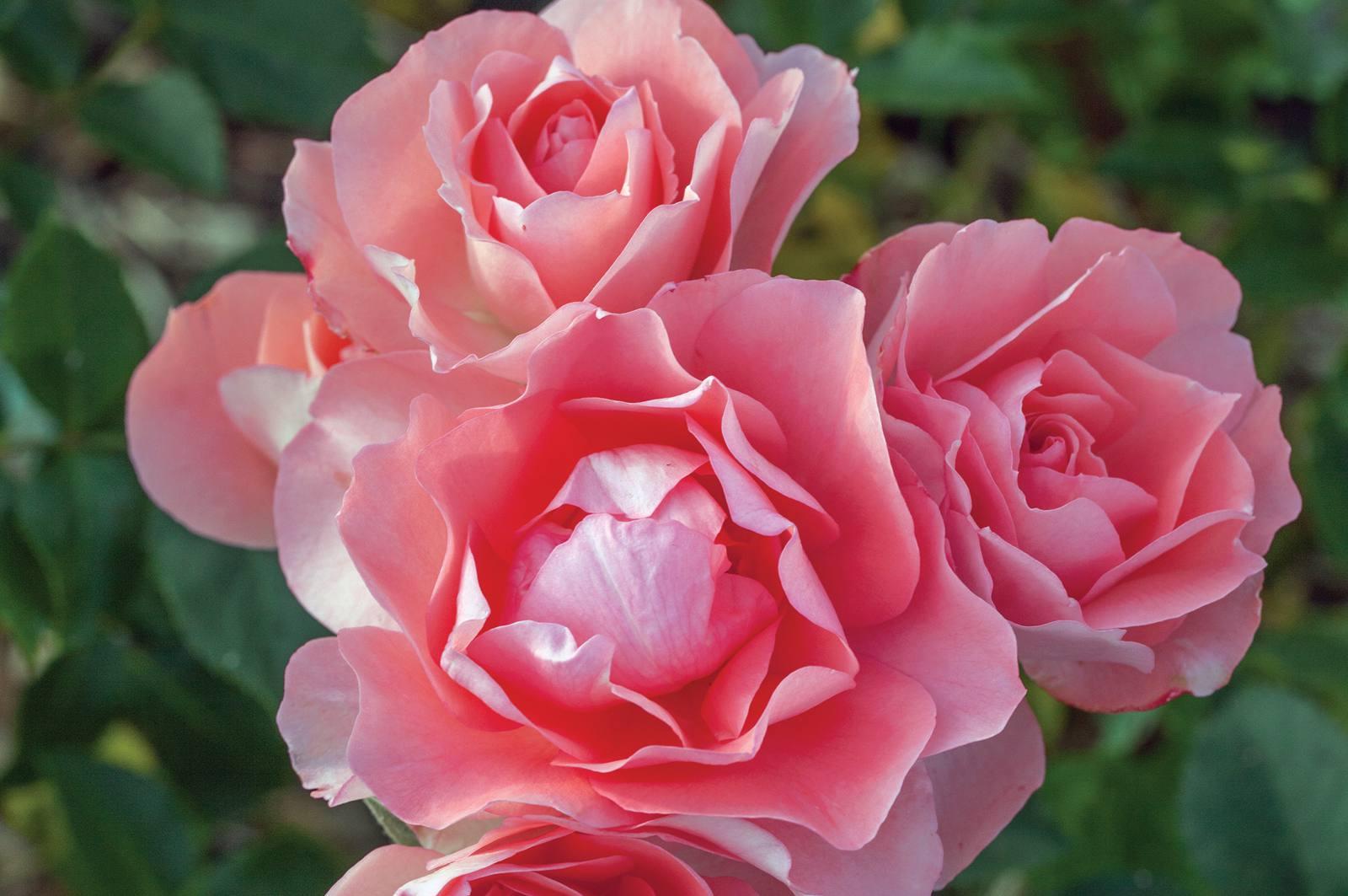 Passionate Kisses 'Meizebel' roses