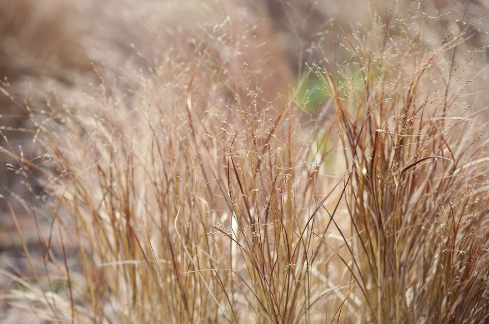 Switch grass ' shenandoah' plant with brown stems and small buds in sunlight