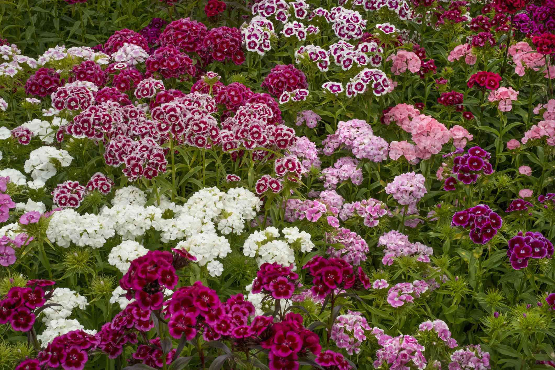 cluster of dianthus flowers