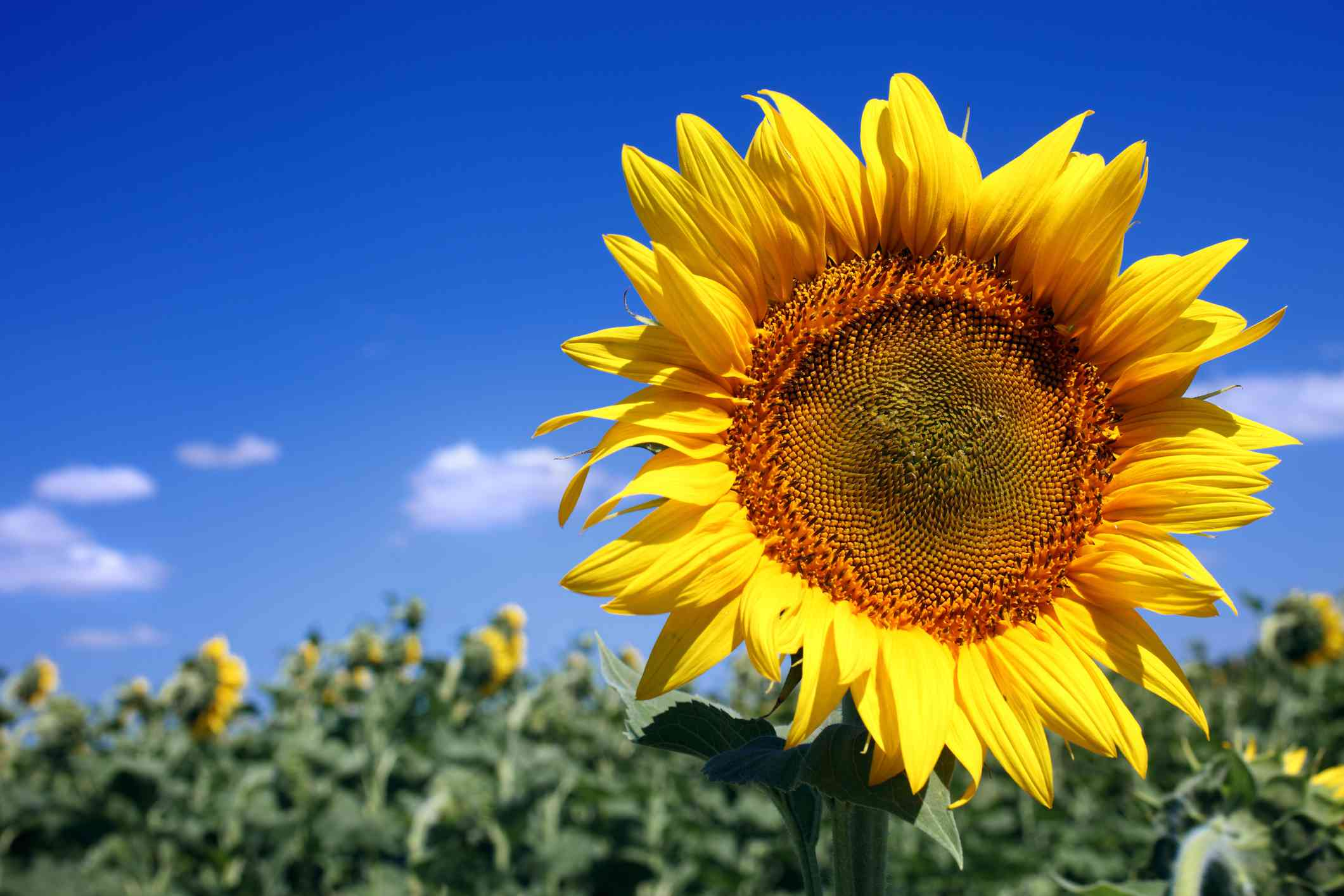 Large Sunflower Variety