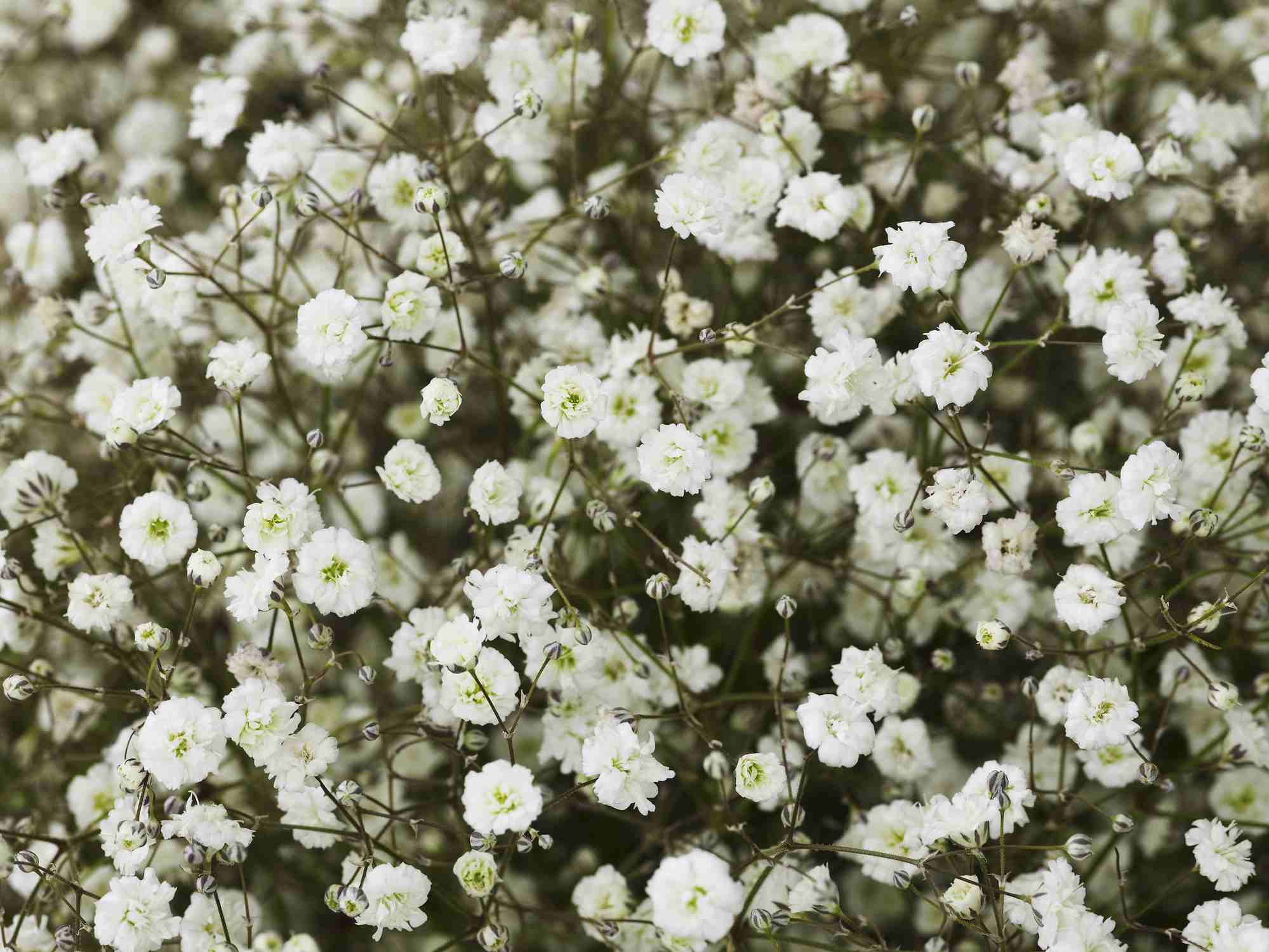 Flowers and plants allergy sufferers need to avoid babys breath izmirmasajfo