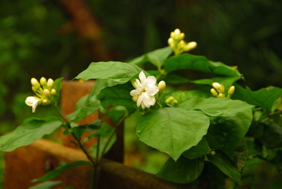 Arabian Jasmine (Jasminum sambac)