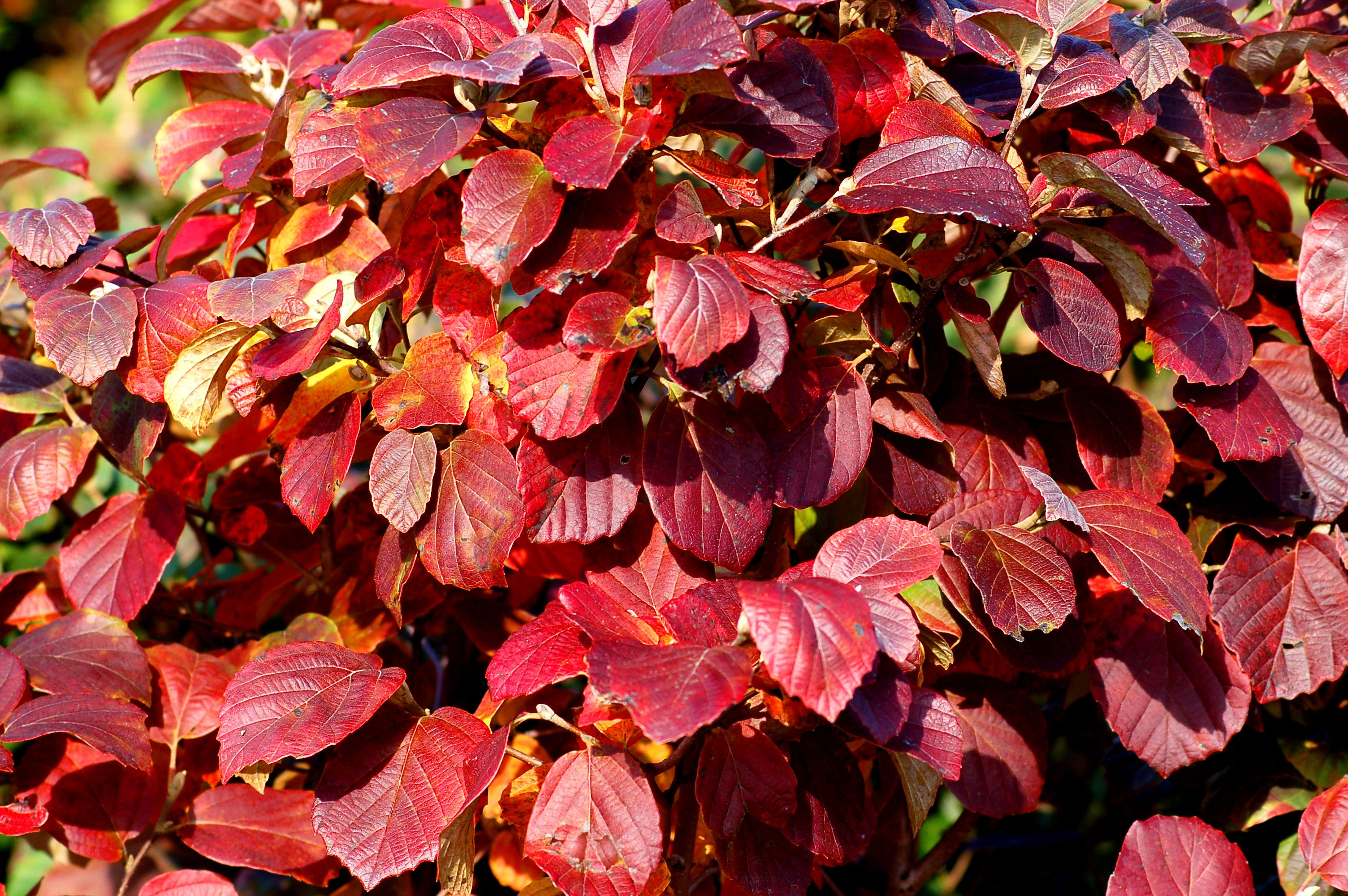 14 Best Shrubs For Fall Color