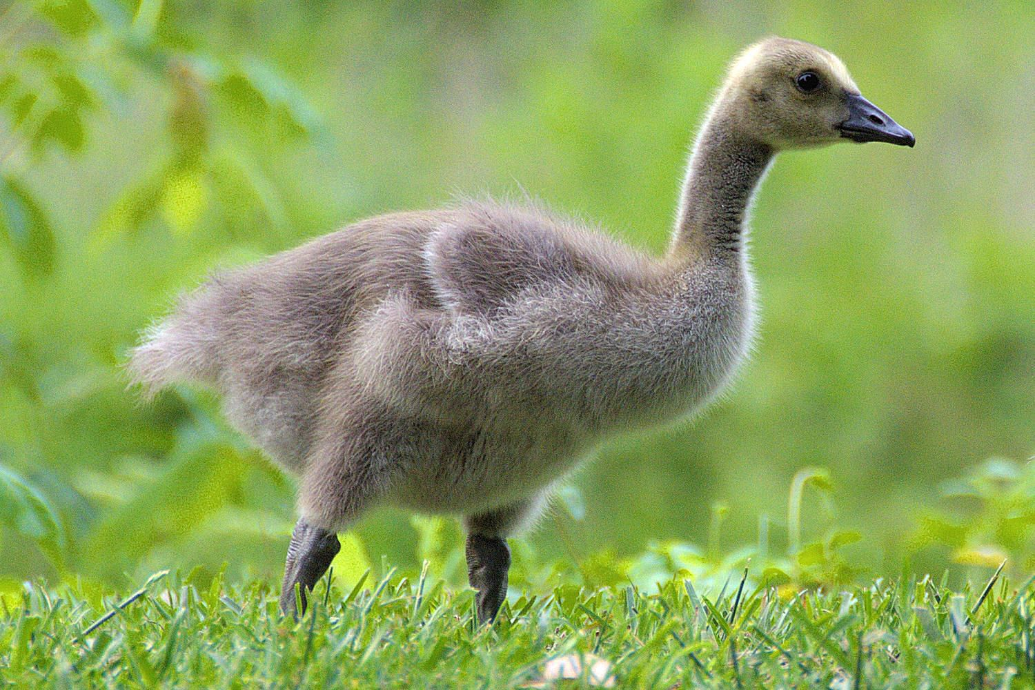 Gosling Definition Baby Goose