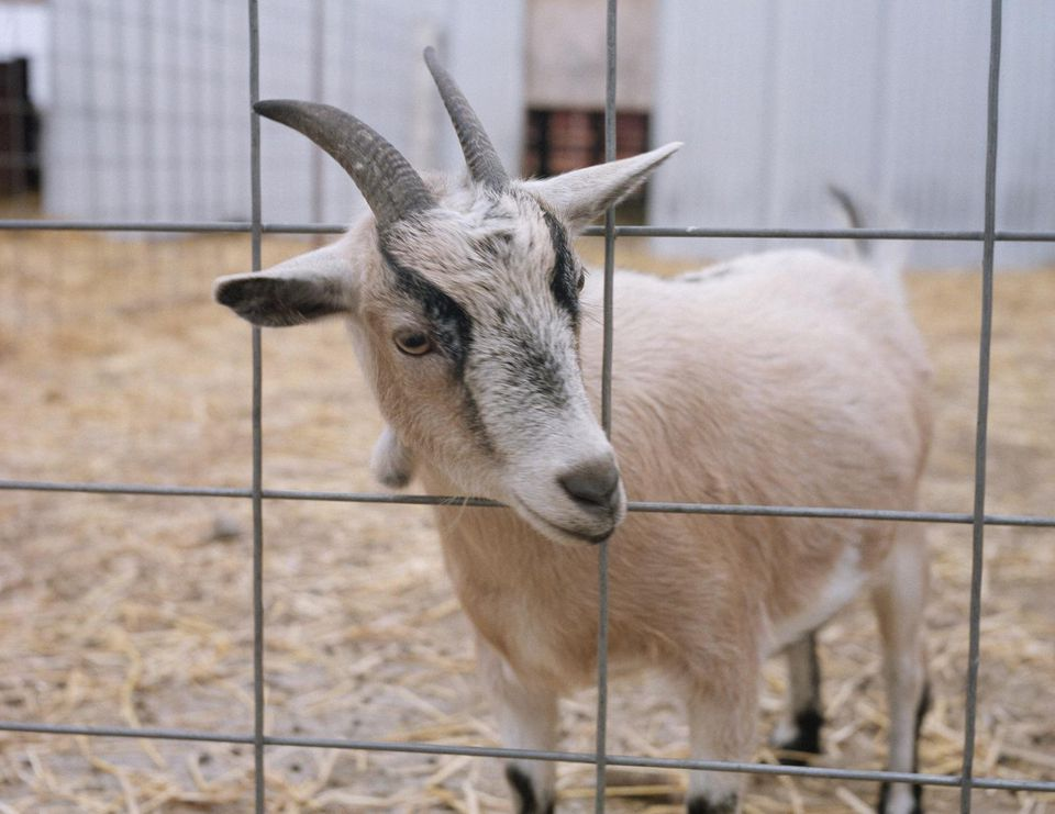 A goat poking its head out of a cage
