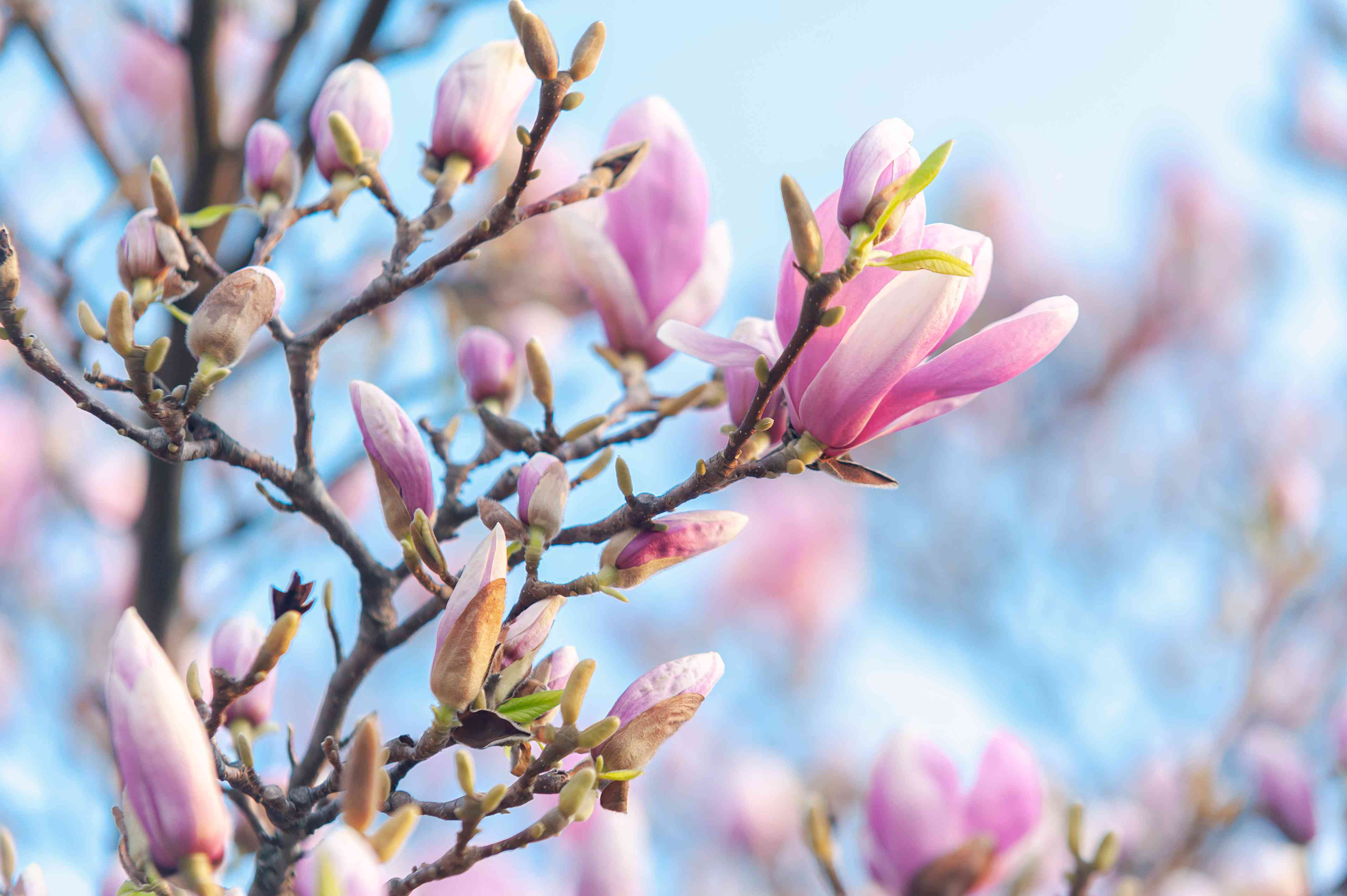 Magnolia tree branch with small pink blooms and closed flowers