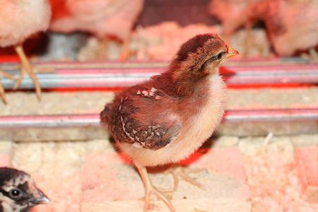 Types of Commercial Chicken or Poultry Feed