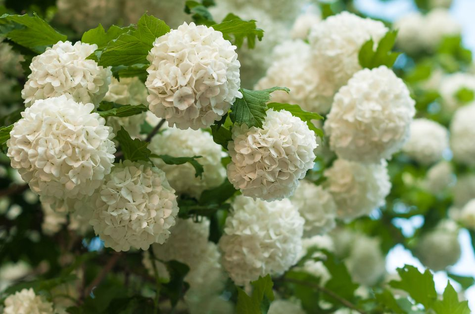 A Chinese snowball viburnum shrub in full bloom displays its white hydrangea-like flowers.