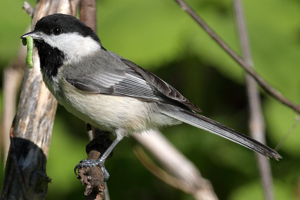 Chickadee With Grub