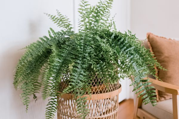 Boston fern on an end table