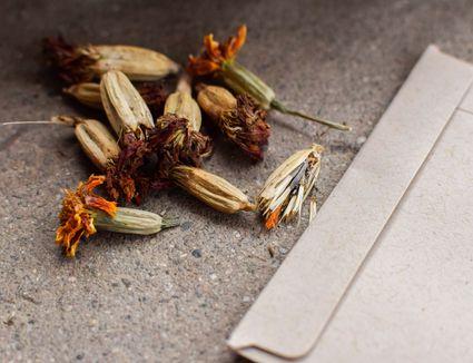saving marigold seeds