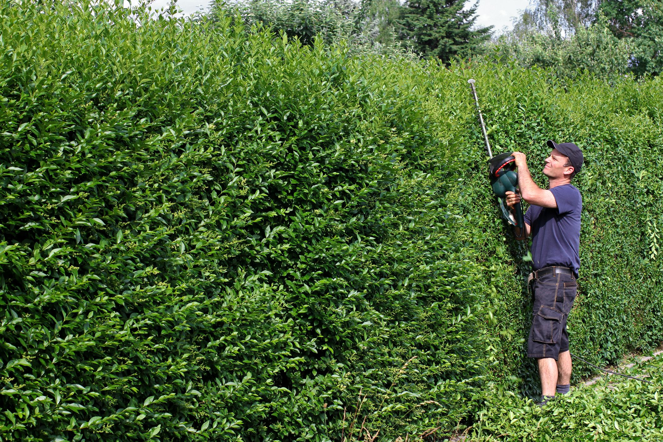 Man trimming privet hedge.