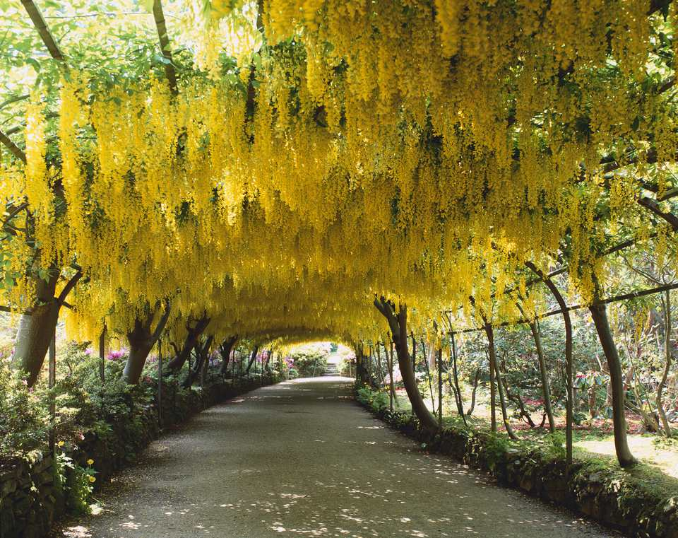 Golden chain trees in bloom forming a tunnel.