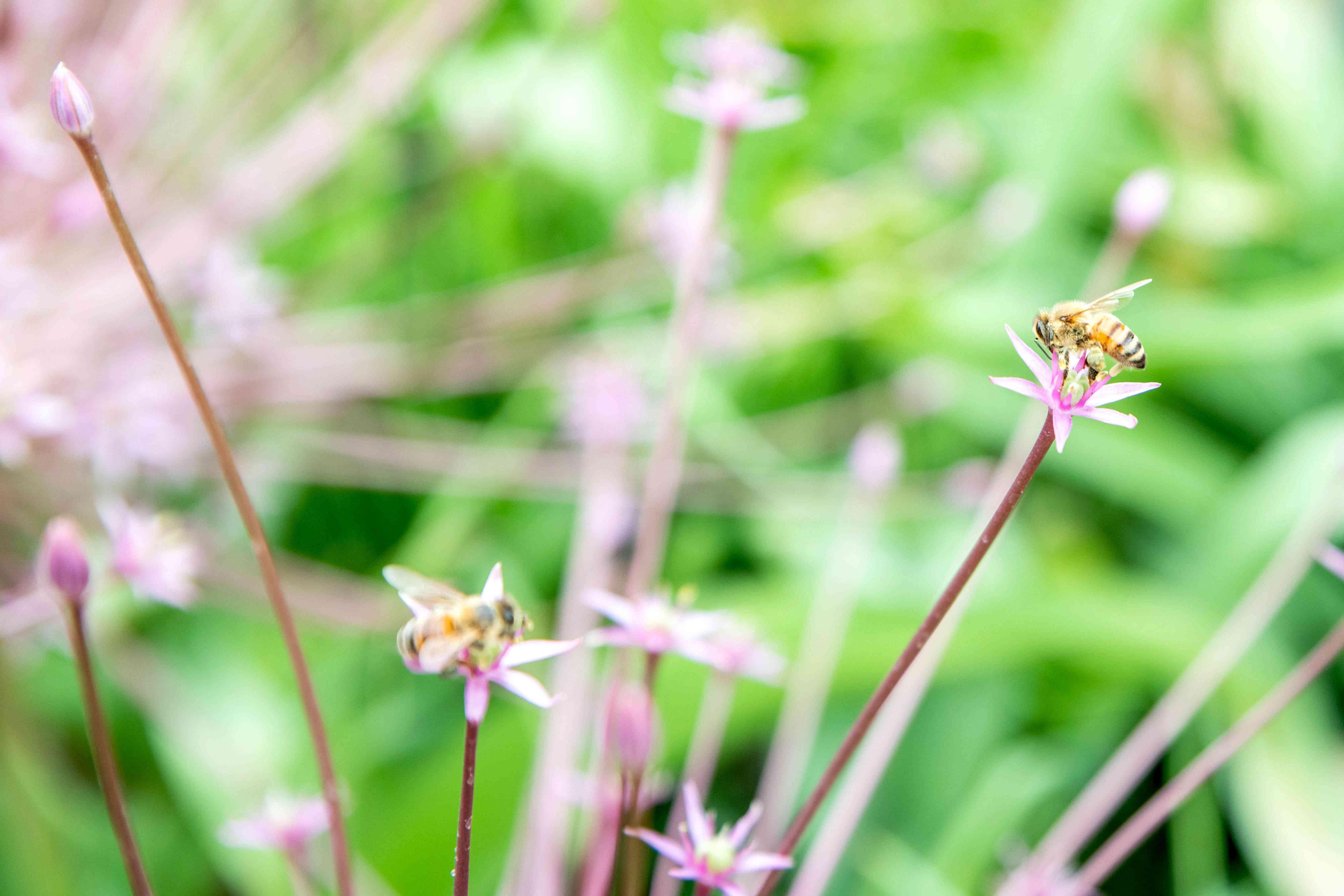 Schubert's allium tiny star-shaped flowers extending from clusters closeup