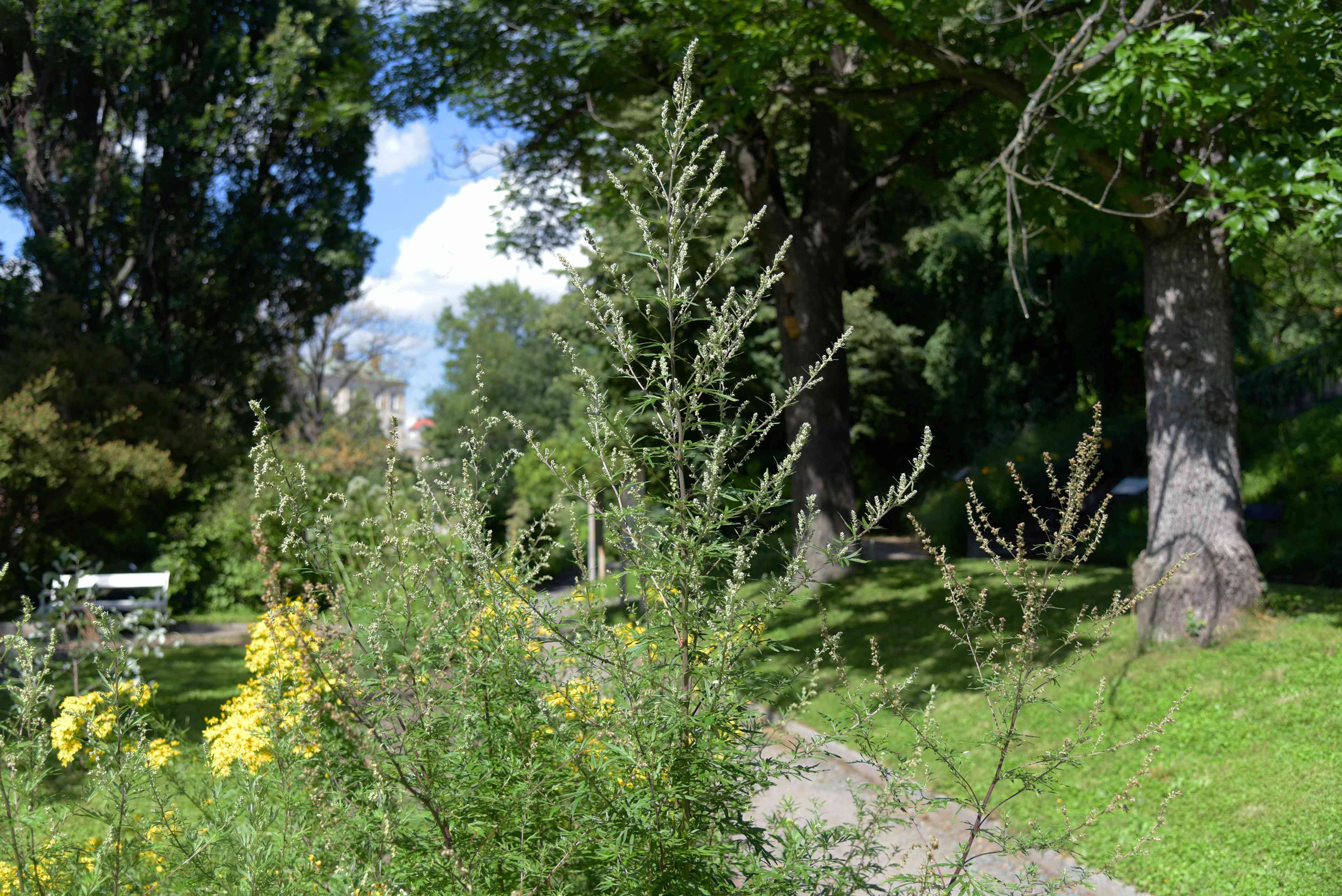 Mugwort plant with tall thin stems with small yellow flowers near pathway