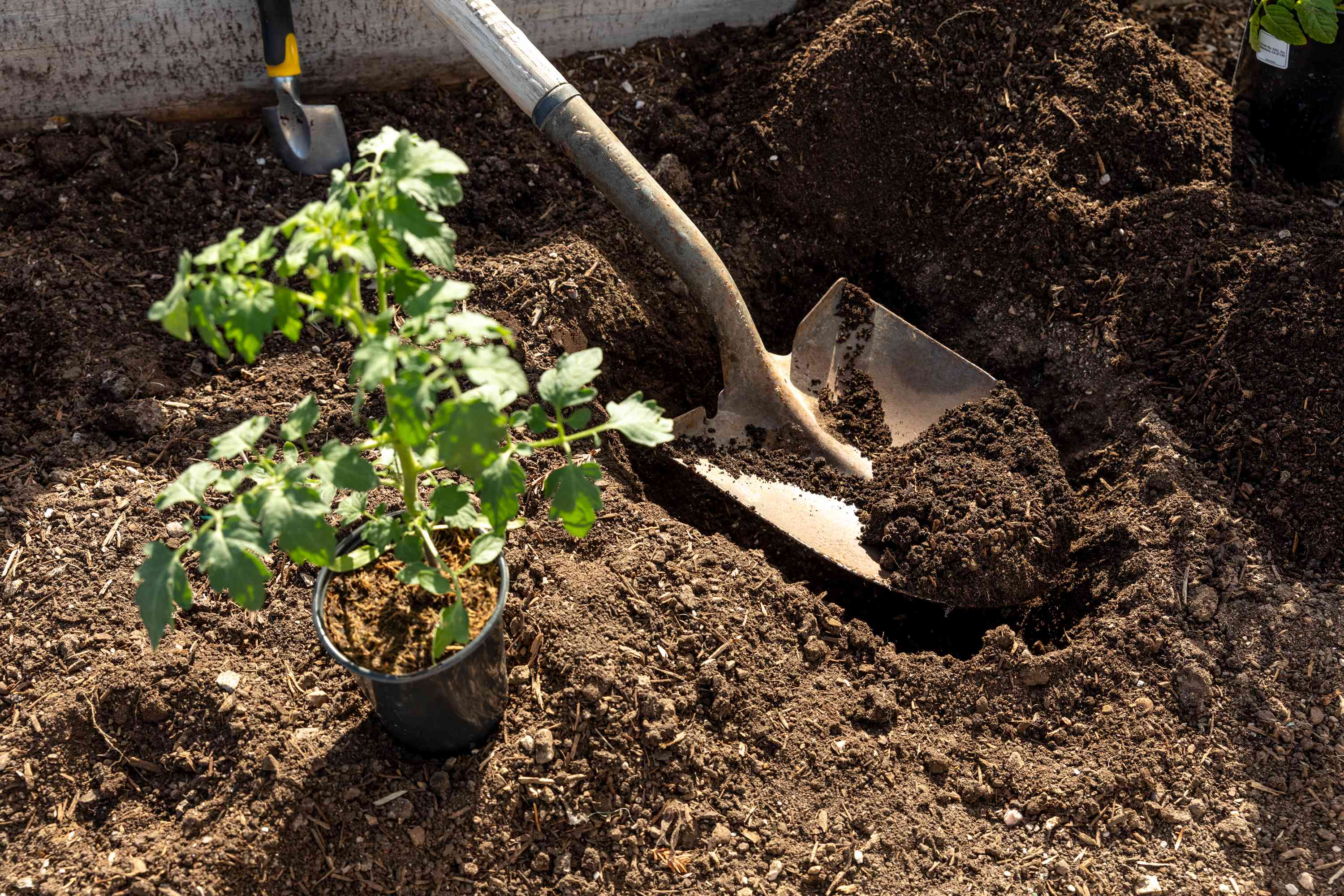 digging a trench to plant tomatoes