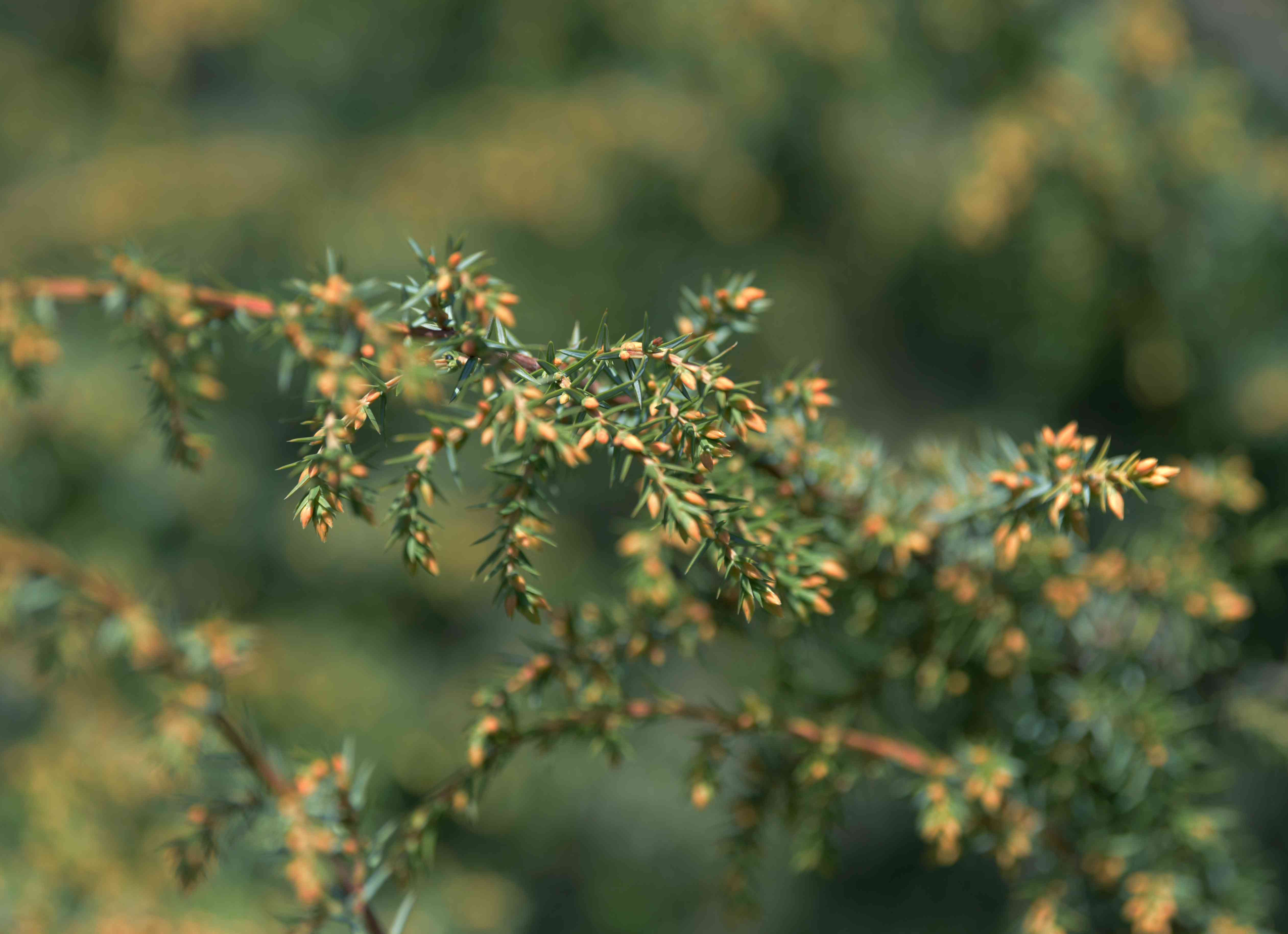 Common juniper 'schneverdinger goldmachangel' branch with small needle-like leaves and orange buds closeup