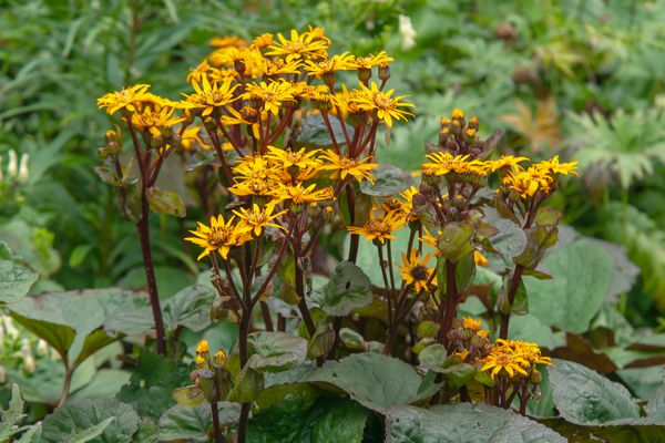 Leopard plant with radiating golden flower clusters on dark red stems above large leaves