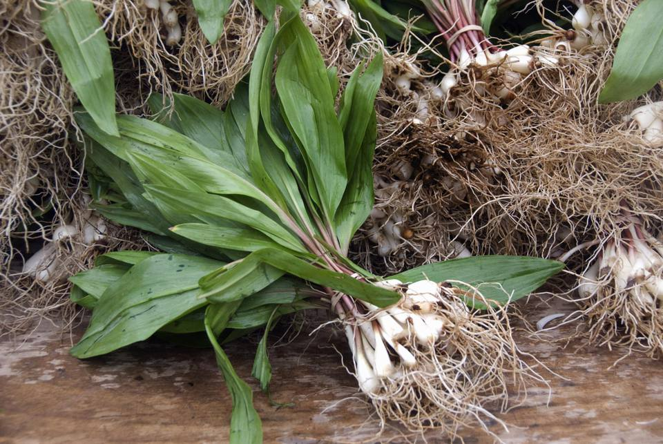 Spring Ramps (Allium tricoccum) harvest
