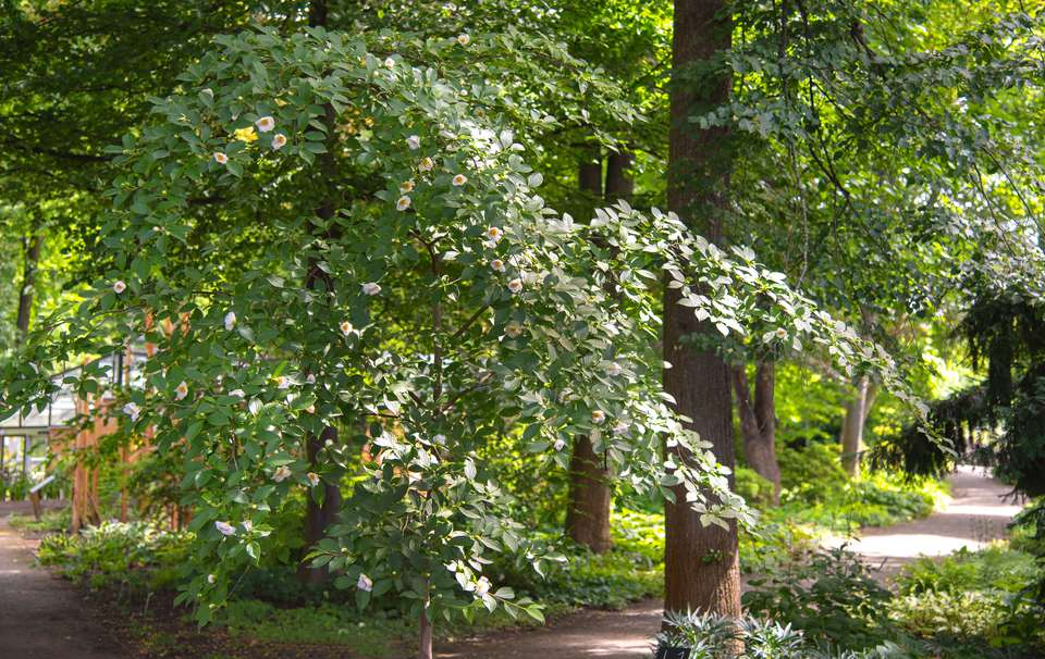 Japanese stewartia tree branch with dark green leaves with white camellia-like flowers near pathway
