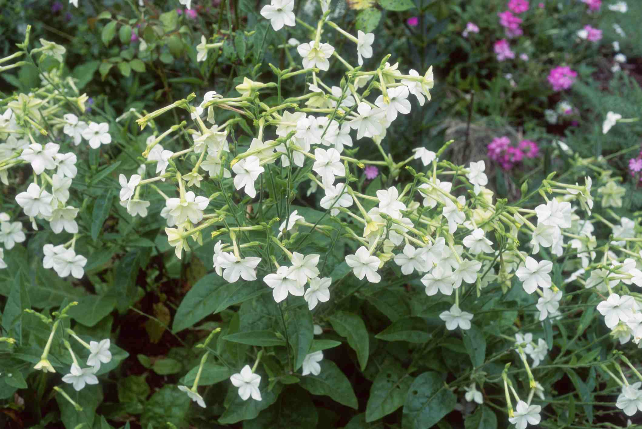 Flowering Tobacco Nicotiana