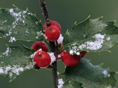 how to tell male and female holly bushes apart