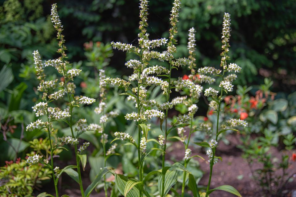 False hellebore plant with tall thin stems and small cream flower panicles