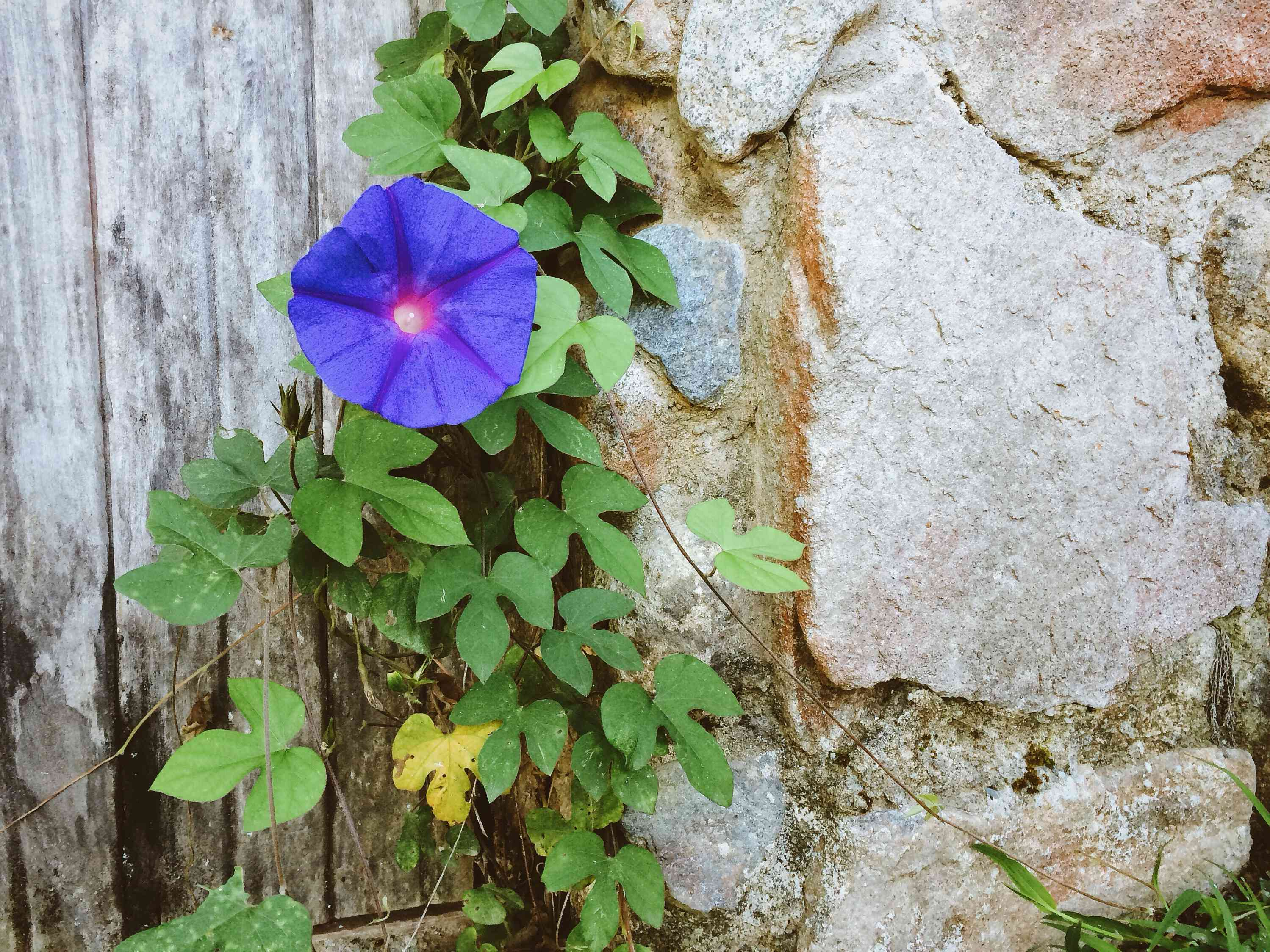 Close-Up Of Blue Common Morning Glory Flower