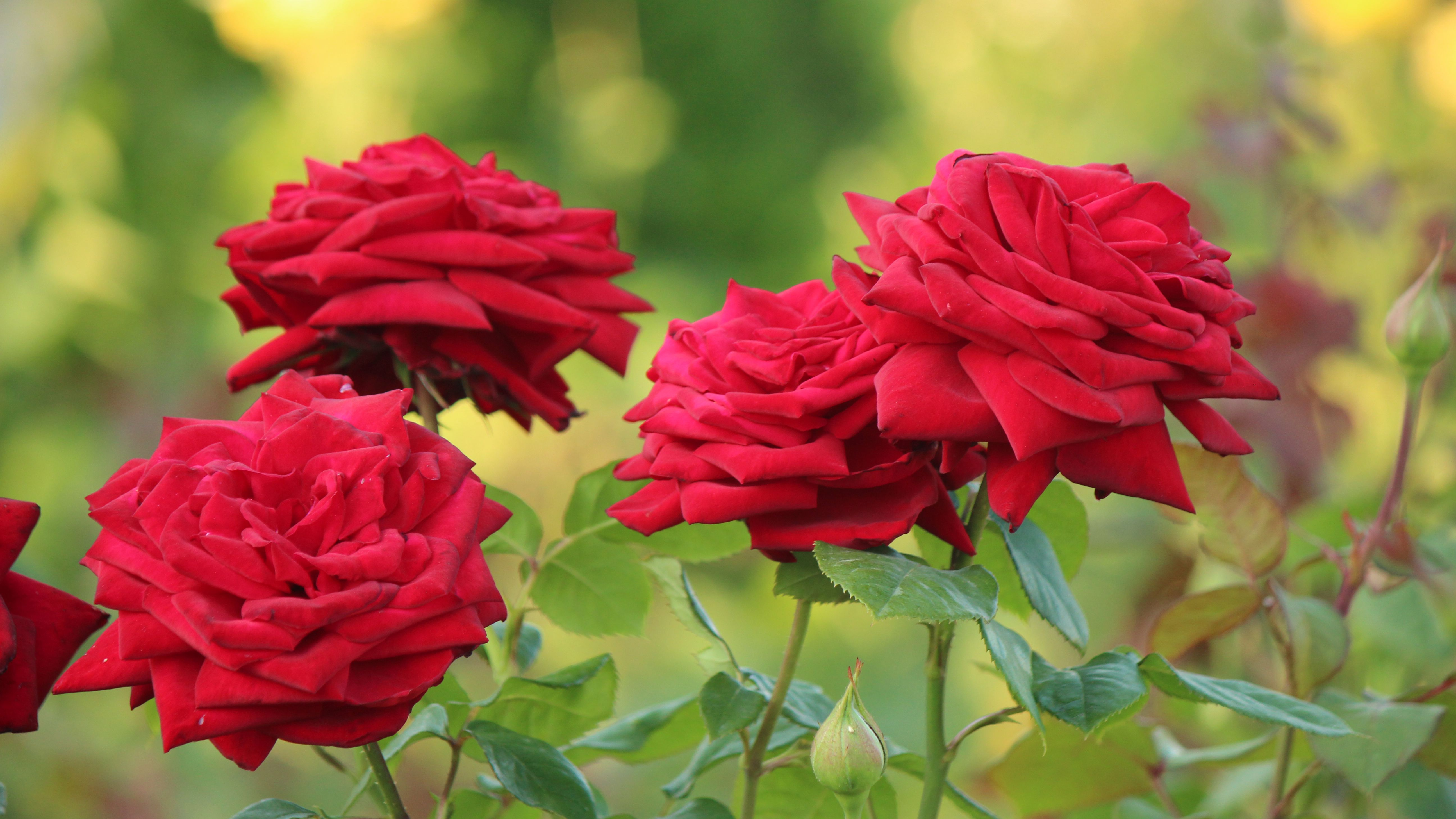 10 Types Of Fragrant Roses To Grow