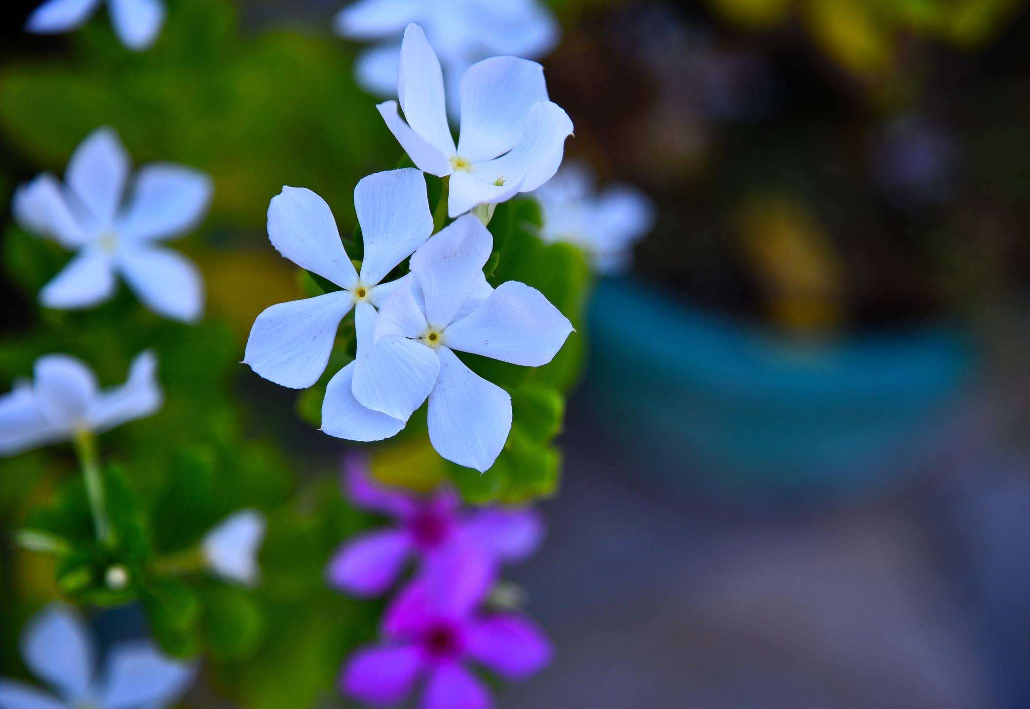 periwinkle vinca flowers