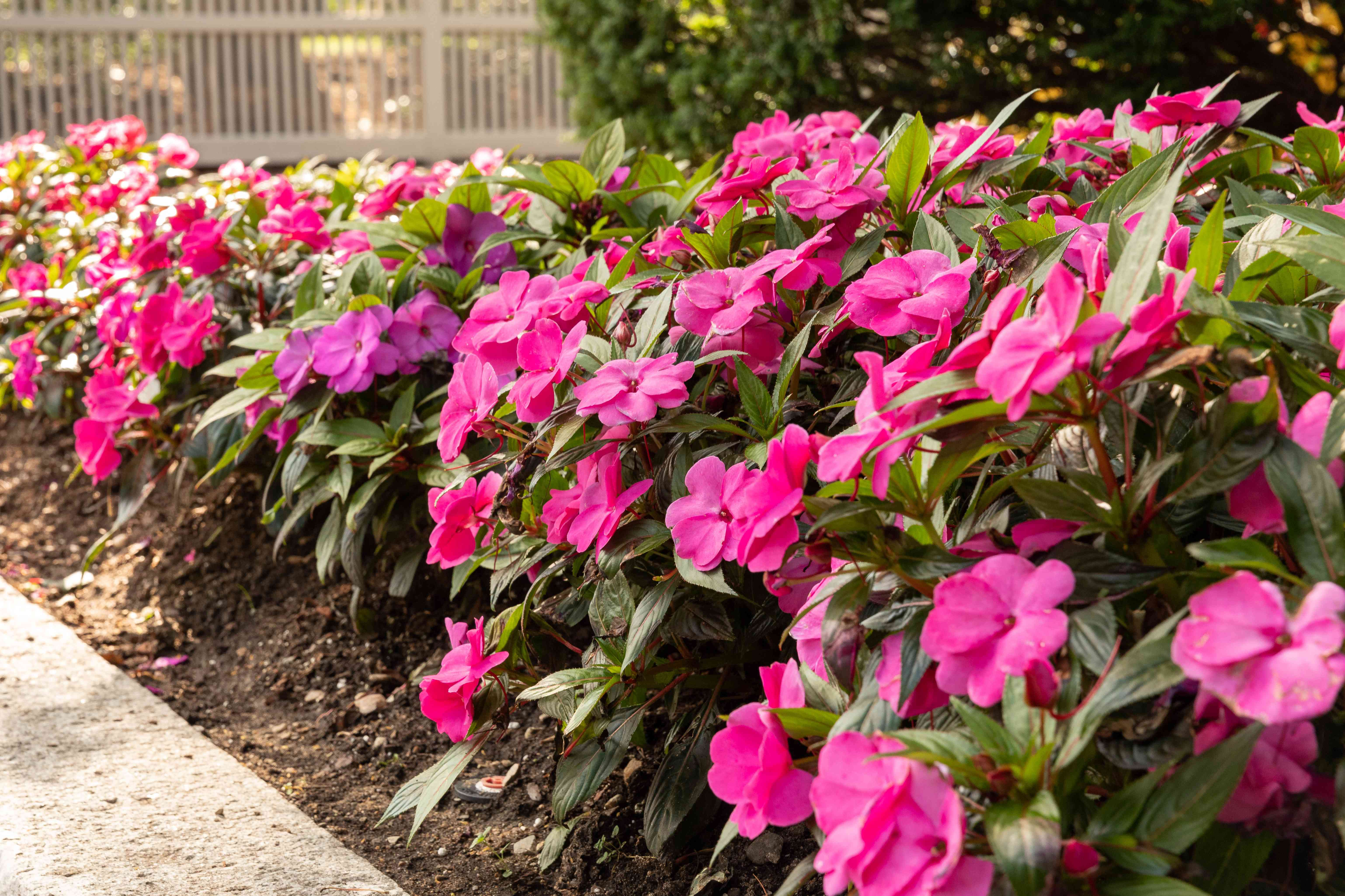 New Guinea impatiens used in landscaping