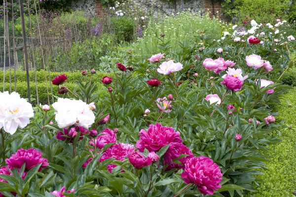 Mixed peonies (Paeonia) in walled garden
