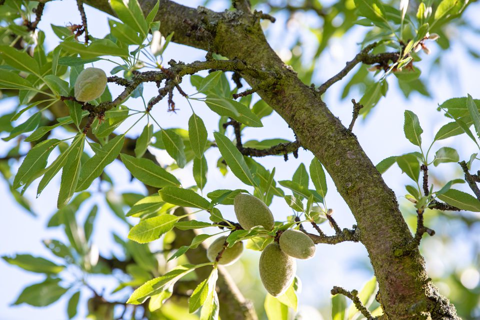 Almond tree trunk with light green leaves and stone fruit hanging from branches