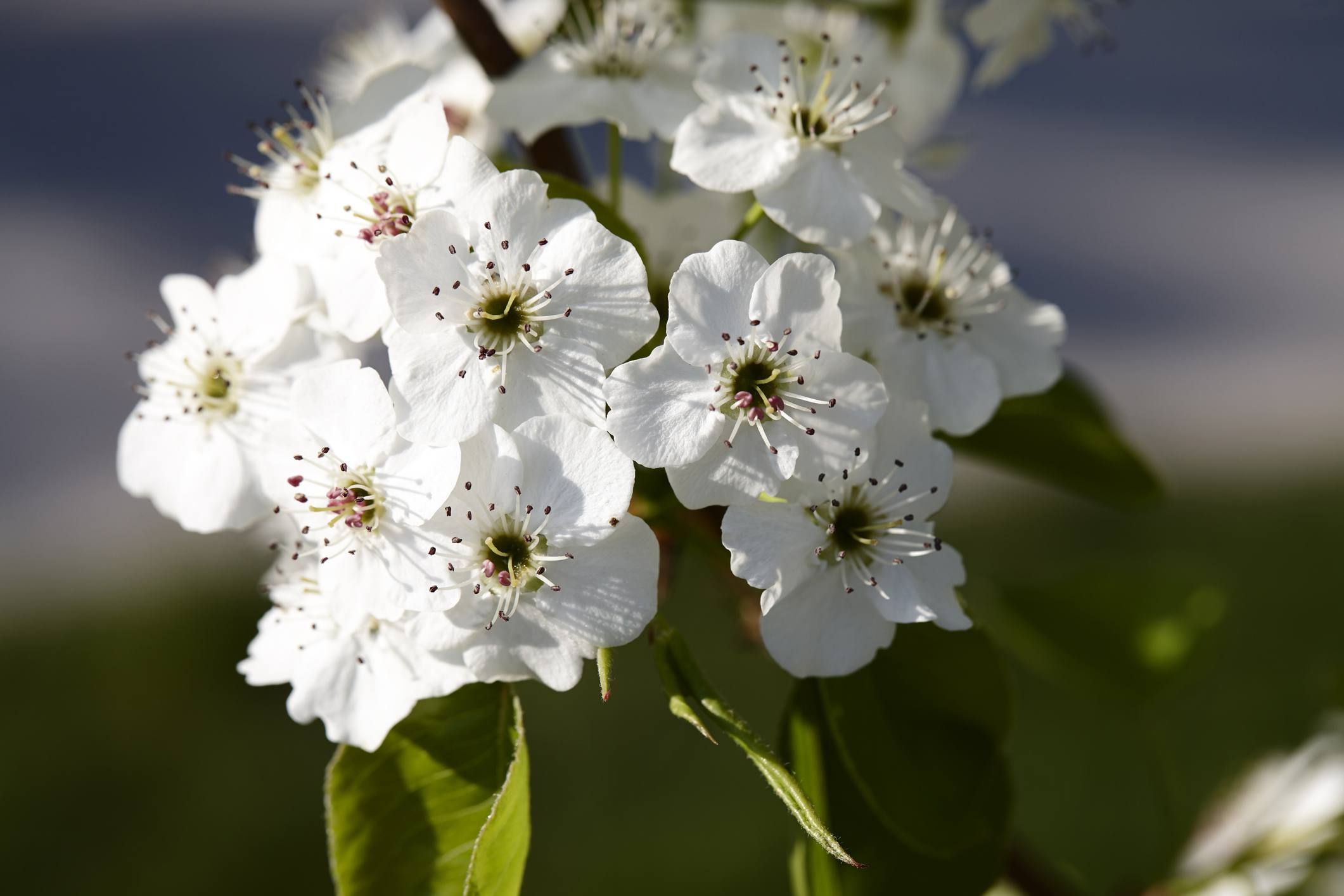 Close-up of Callery pear tree blossom