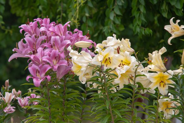 Pink and light yellow daylily flowers on tall stems