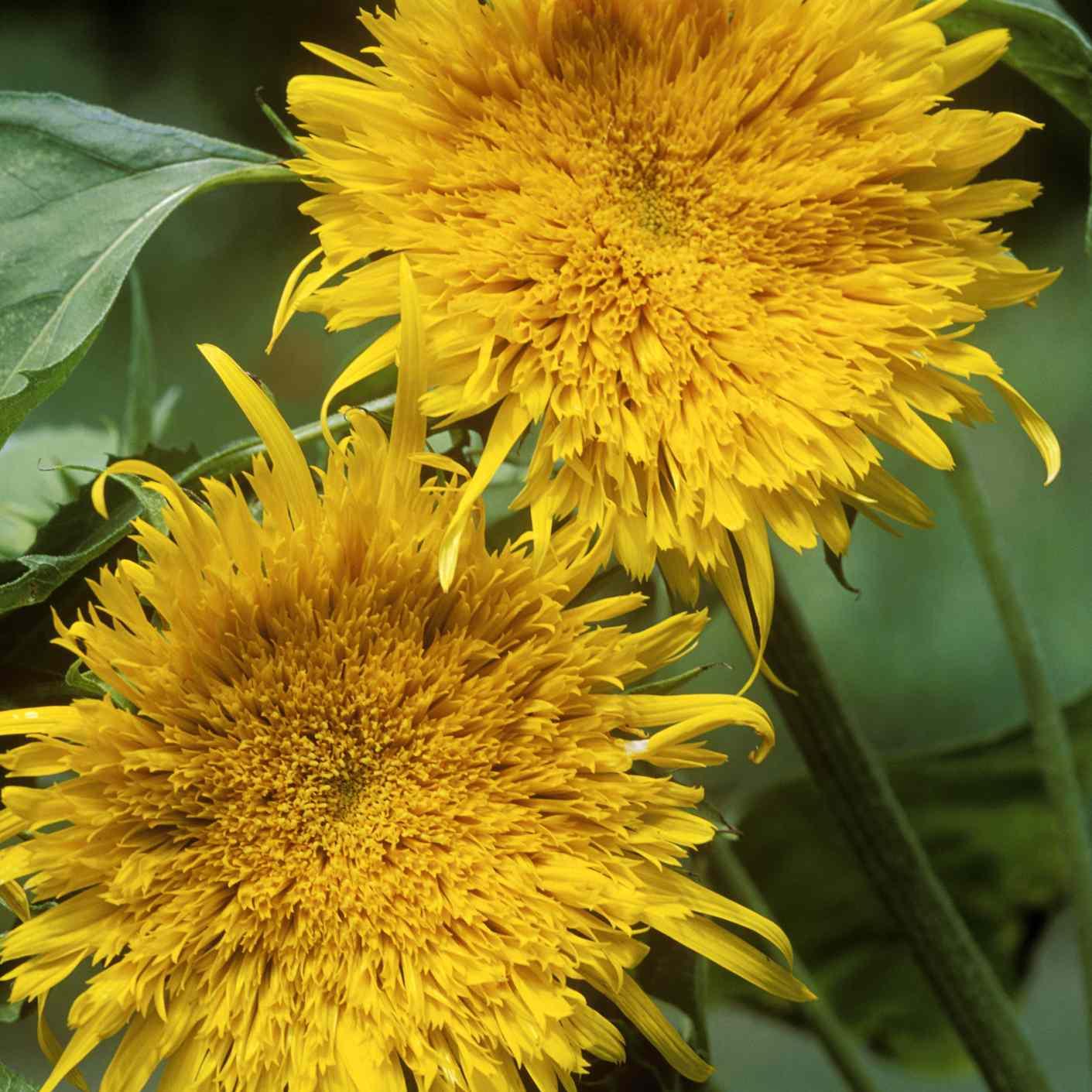 Starburst Aura Sunflower