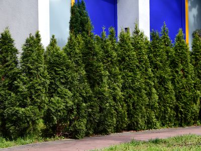 Emerald green arborvitae trees alongside brick pathway and white and blue building