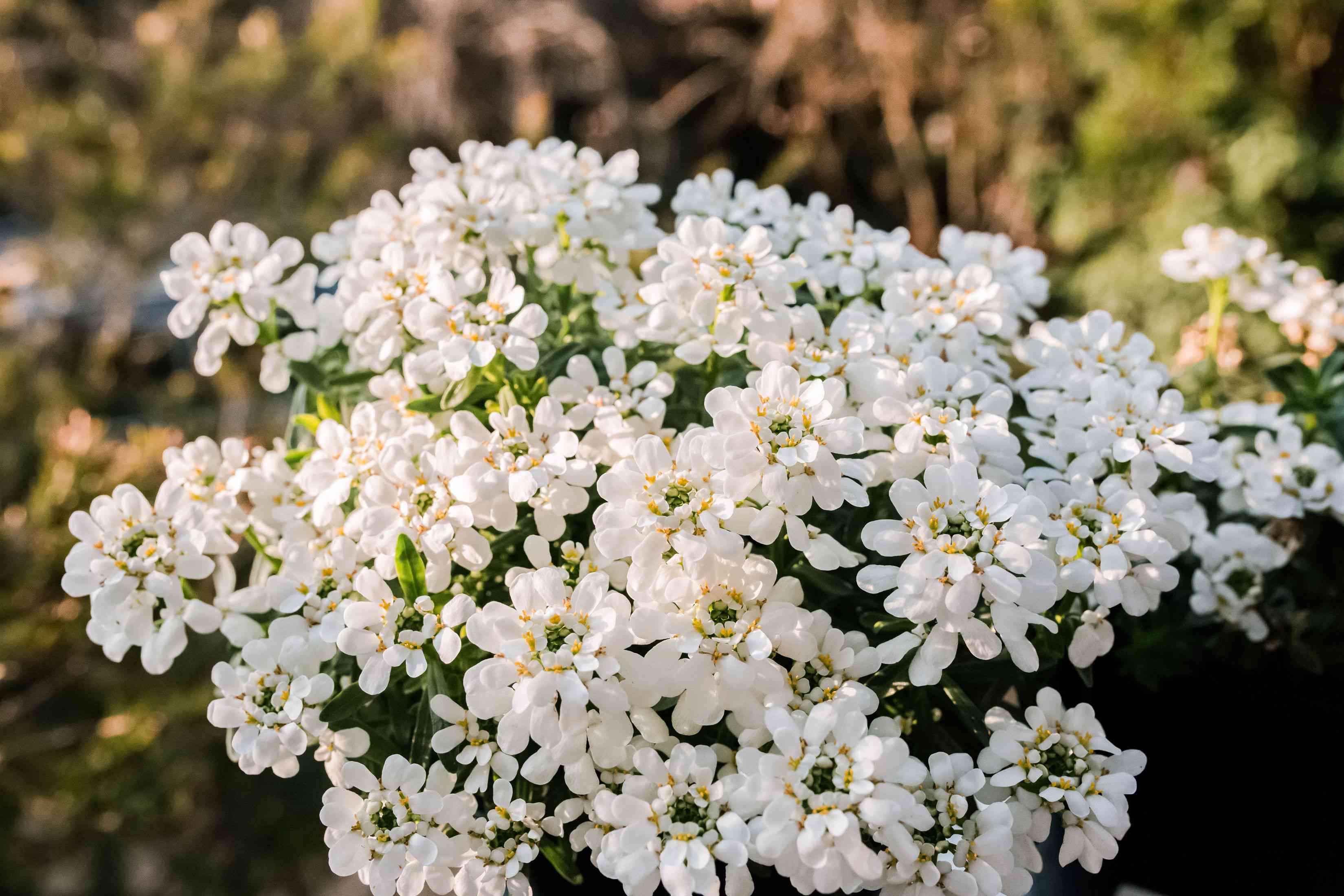 Candytuft plant with small white flower blooms clustered together closeup
