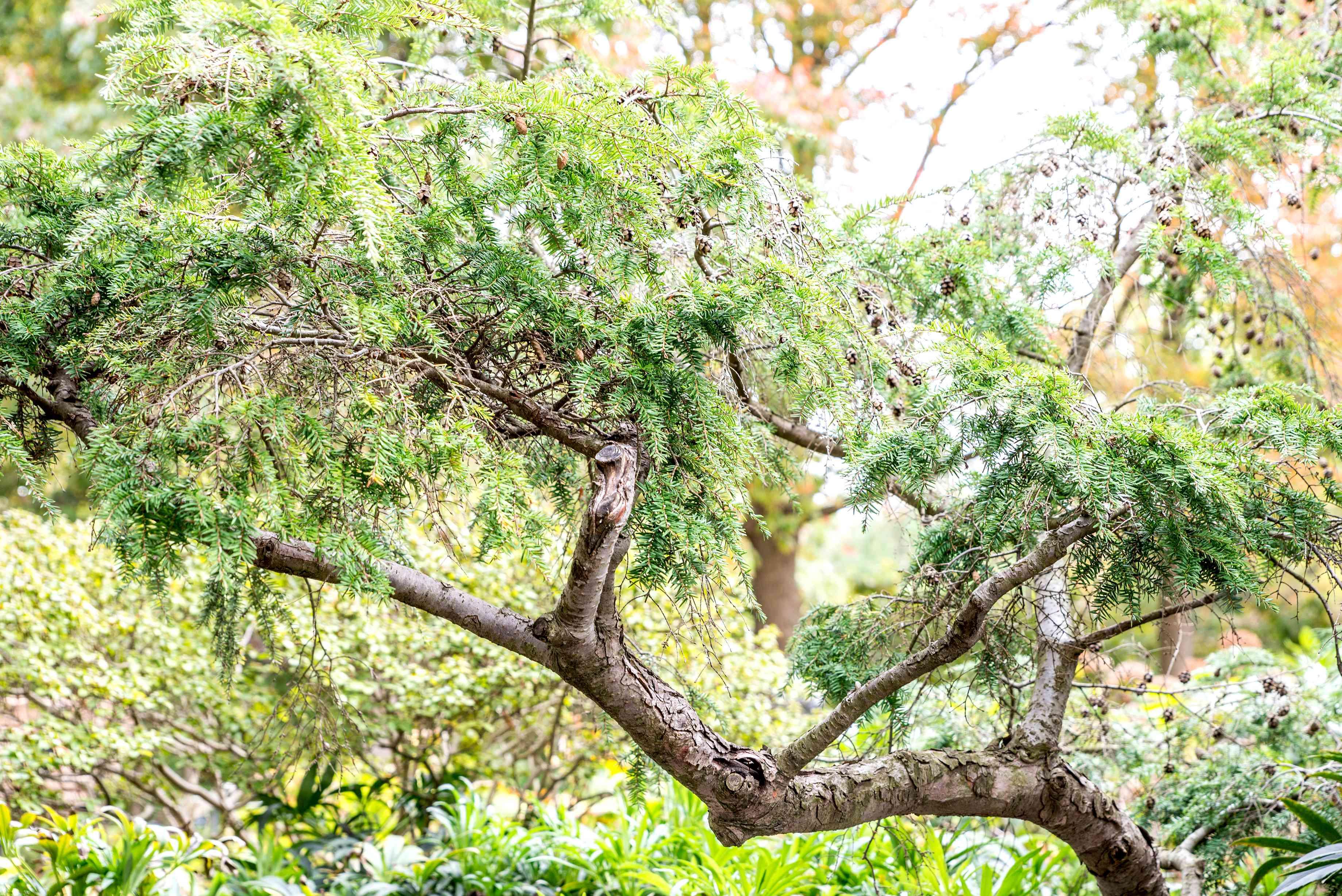 Canadian hemlock branch
