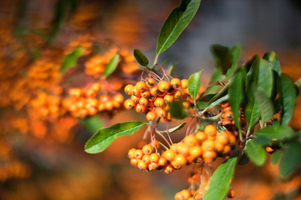 Orange Autumn Berries