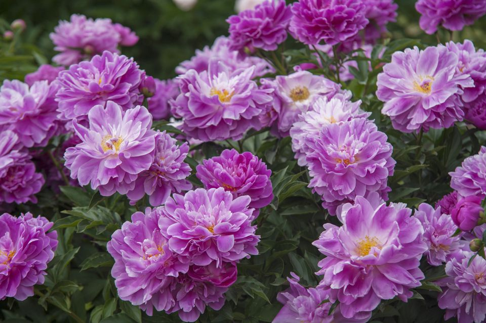 Pink peonies in woody shrub