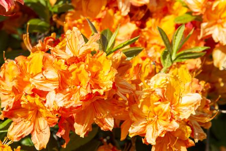 Closeup Of Flowers An Orange Azalea Shrub
