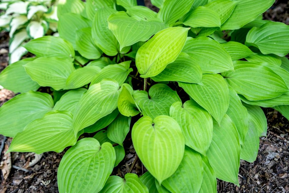 Fire island hosta plant with bright green rain drop-shaped leaves