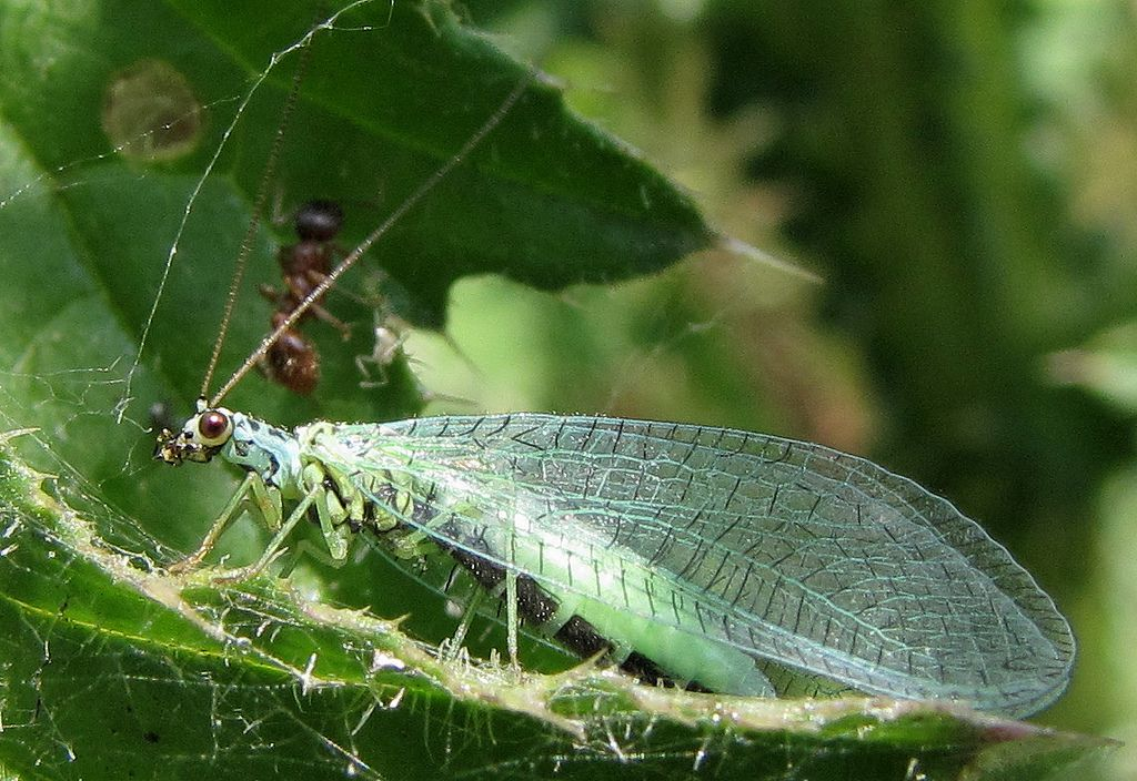 Lacewing insect photo